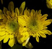 A nice yellow flowers. Ow flower yellow nice flowers closeup royalty free stock image