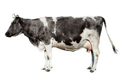 Free Сow Full Length Isolated On White Background. Funny Cute Cow Isolated On White. Y Stock Photo - 119714260