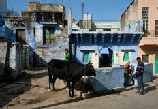 Сow grazing on the street of the old Indian city Stock Photography