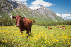 Сow in the meadow among the mountains. Europe. Norway.Сow in the meadow among the mountains Royalty Free Stock Image