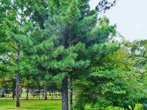 Owłoseni drzewa w parku Obrazy Royalty Free