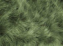 owłosiona trawy. obraz royalty free