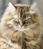 Owłosiony brown skumbriowy kot, przedpole Zdjęcia Stock