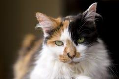 Owłosiony domowy kot Zdjęcia Royalty Free