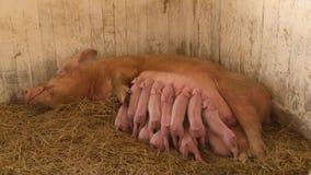 Ow para alimentar leitão recém-nascidos video estoque