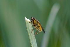 owady Fotografia Stock