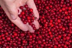 Owberries do ¡ de Ð à disposição Imagem de Stock Royalty Free