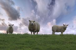 owca rodziny Obraz Royalty Free