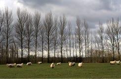 owce Zdjęcie Royalty Free