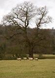 owce zdjęcia royalty free