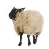owce Obraz Royalty Free