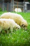 owce fotografia stock