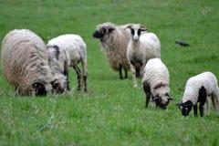 owce owce zdjęcia royalty free