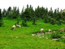 owce bighorn Zdjęcia Royalty Free
