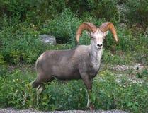owce bighorn Fotografia Royalty Free