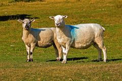 owce dartmoor Fotografia Stock