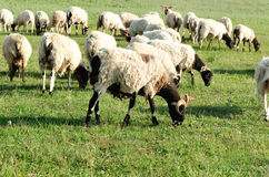 owce jedzenia trawy Fotografia Stock