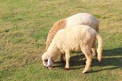 owce jedzenia trawy Zdjęcie Royalty Free