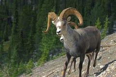 owce kamień Zdjęcie Stock