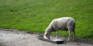 owce synklina jedzenie Obrazy Stock