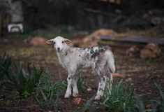 owce owce Urodzony w zimie zdjęcia royalty free