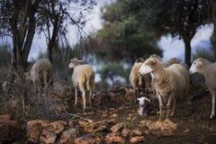 owce owce Urodzony w zimie zdjęcie stock