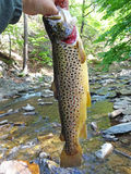 Owens Creek Big Brown Trout royalty free stock photography