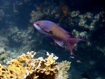 łowi pseudanthias czerwonego morza squamipinnis Fotografia Stock