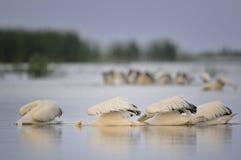łowieccy pelikany Zdjęcie Stock