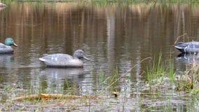 ?owiecka atrapa na wodzie dla wabije ptaki zdjęcie wideo