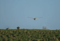 łowiecka stajni sowa Zdjęcie Royalty Free