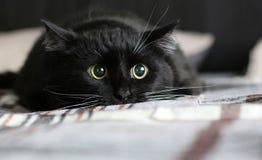Łowiecki czarny kot Obraz Stock
