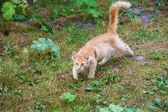 Łowiecki czerwony kot Fotografia Royalty Free