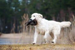 Łowiecki golden retriever pies niesie kaczki Zdjęcie Stock