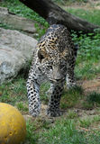 Łowiecki jaguar zdjęcie royalty free