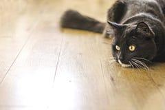Łowiecki kot Obrazy Royalty Free