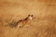 łowiecki lew Fotografia Royalty Free