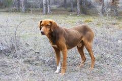 Łowiecki pies Fotografia Royalty Free