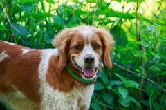 Łowieckiego psa Brittany spaniel Zdjęcia Royalty Free