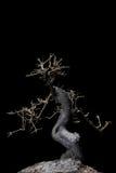 oświetleniowy bonsai koszty stałe Fotografia Stock