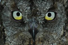 Owl�s face Royalty Free Stock Images
