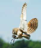 Owl. Hunting owl Royalty Free Stock Photos