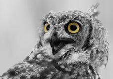 Owl. A portrait of a owl in black and white Royalty Free Stock Photography