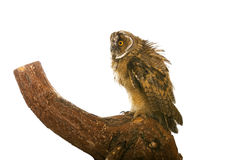 Owl. Isolated on the white background Royalty Free Stock Photography