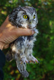 Owl. (Aegolius funereus) in hands, powerful claws on strong paws are well visible Royalty Free Stock Photo