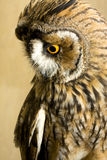Owl. Close-up of long-eared owl Stock Photo