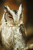 Owl. Is on tree and stare at you Royalty Free Stock Image