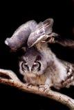 Owl. European Barn Owl flying by Stock Photo