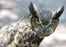 Owl. Portrait of an owl looking around Royalty Free Stock Image