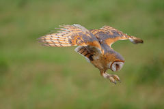 Owl. The owl is hunting for food Royalty Free Stock Images